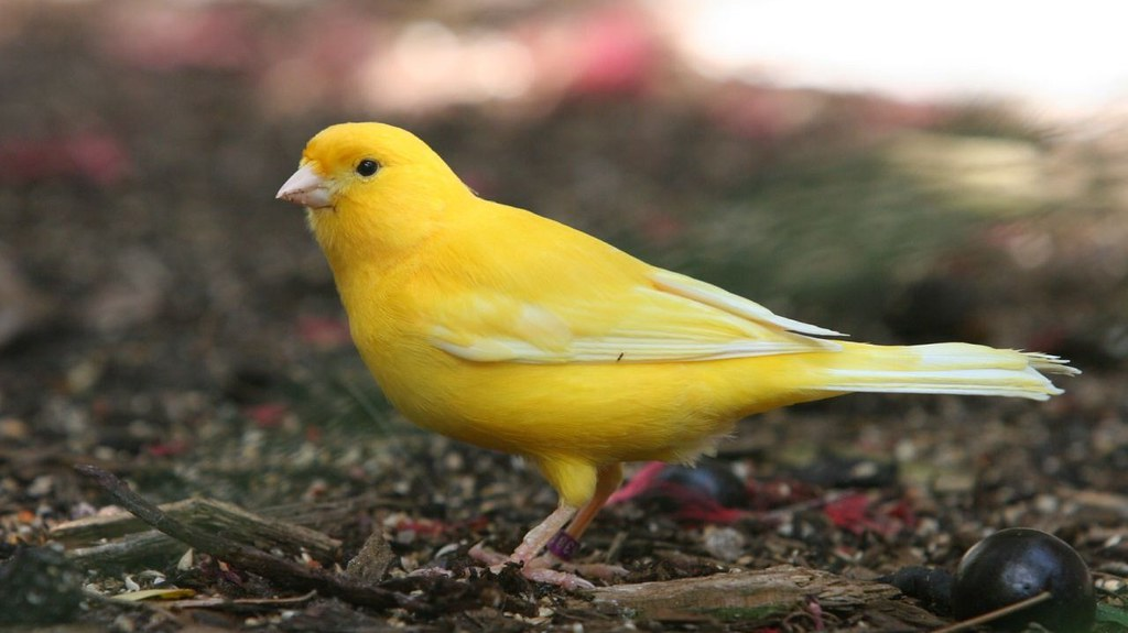 How to care for a canary