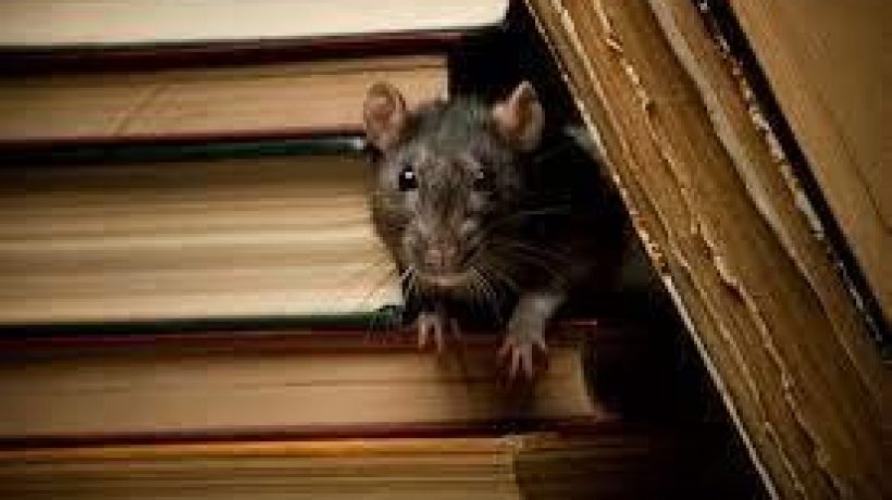 The Brown Rat – One of the World's Most Successful Mammals